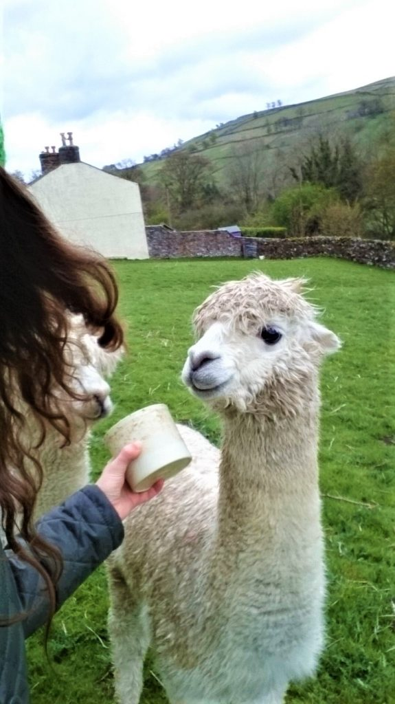 working with llamas with a workaway in Yorkshire